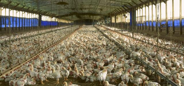 zesto_group_chicken_house